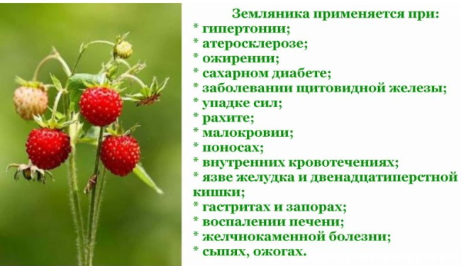 Листья земляники. Лечебные свойства и противопоказания, для чего принимать