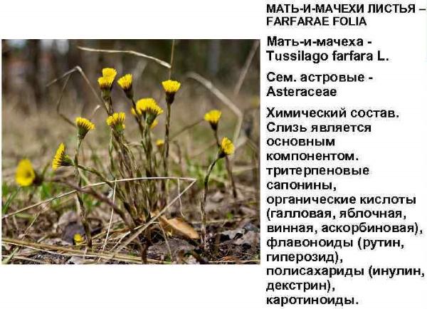 Мать и Мачеха обыкновенная. Фото растения с листиками, цветами, лечебные свойства