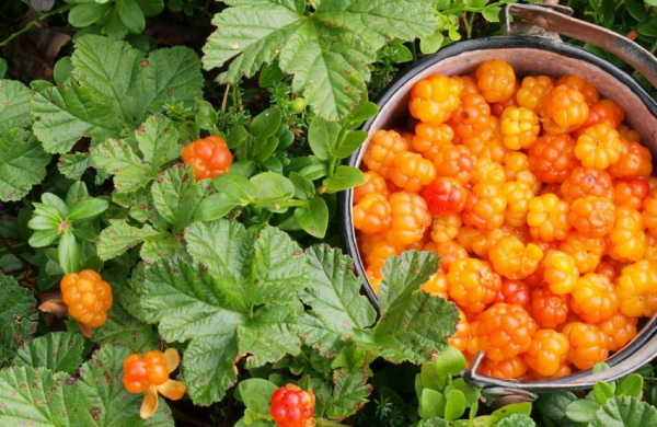 Морошка ягода. Фото и описание, где растет, польза и вред