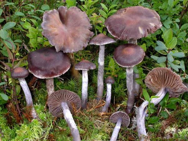 Паутинник фиолетовый гриб. Фото и описание, как готовить