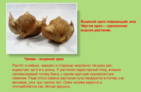 Водяной орех чилим (рогульник плавающий). Фото и описание