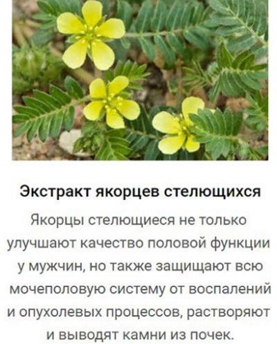 Якорцы стелющиеся. Где трава растет в России, применение экстракта